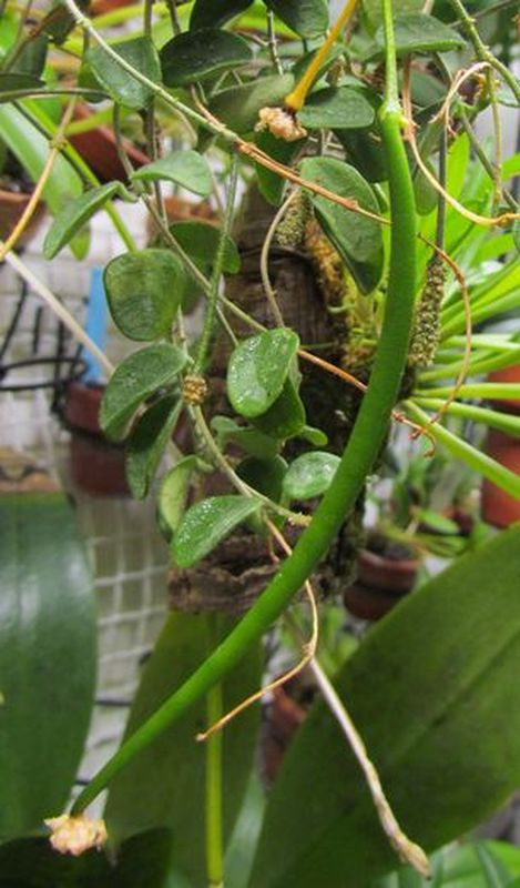 Fructification sur Hoya serpens Img_2410