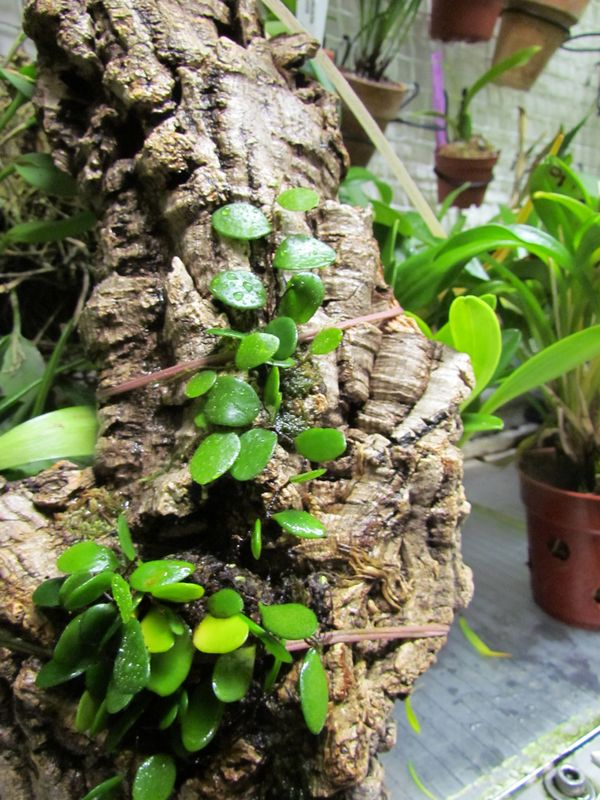 Pyrrosia piloselloides ( dernières nouvelles ).  Img_2416