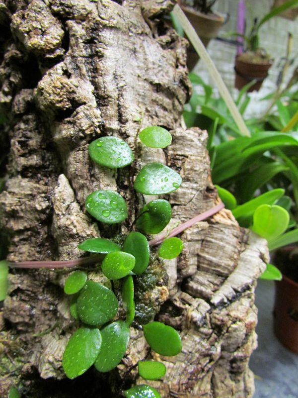 Pyrrosia piloselloides ( dernières nouvelles ).  Img_2417