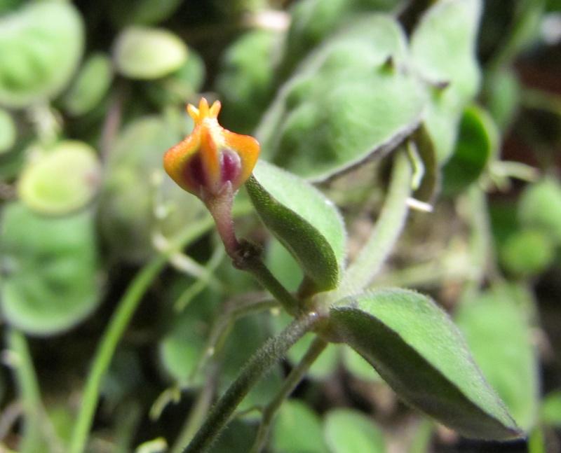 Dischidia astephana ( Asclepiadaceae ) Img_2421