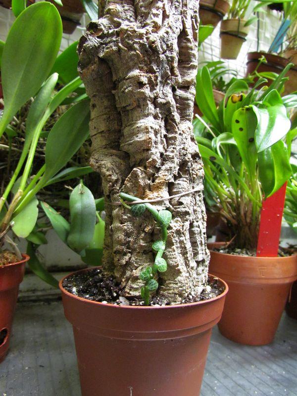 Rhaphidophora cryptantha  je pense avoir trouver pour sa culture Img_2516