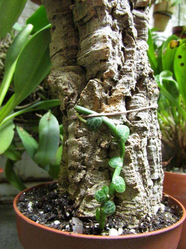 Rhaphidophora cryptantha  je pense avoir trouver pour sa culture Img_2517