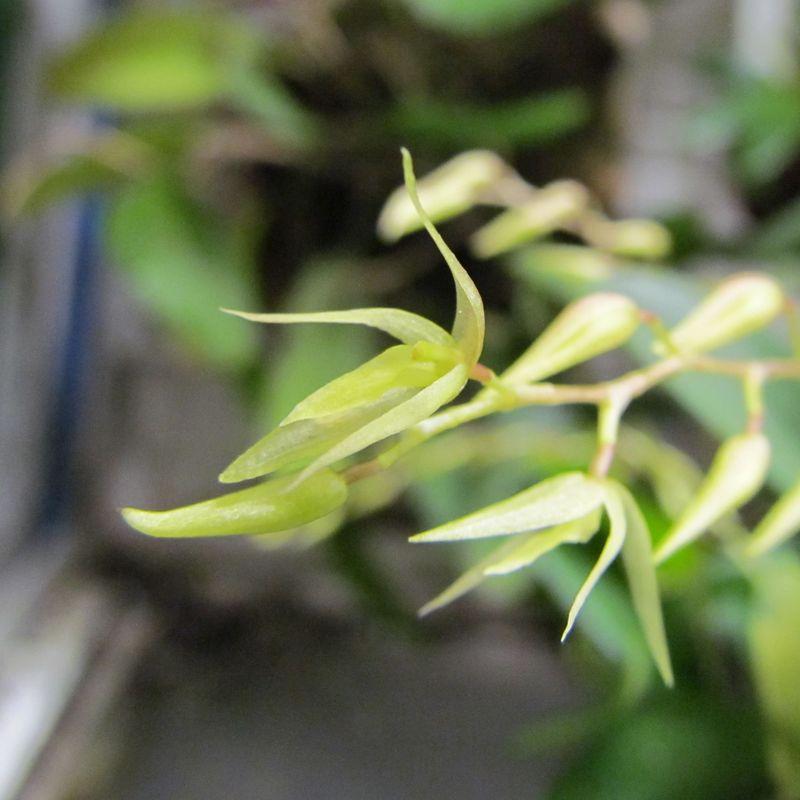 Pleurothallis loranthophylla Img_2524