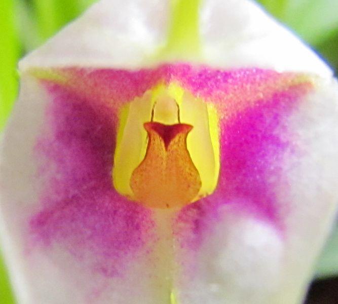 Masdevallia exquisita Img_2532