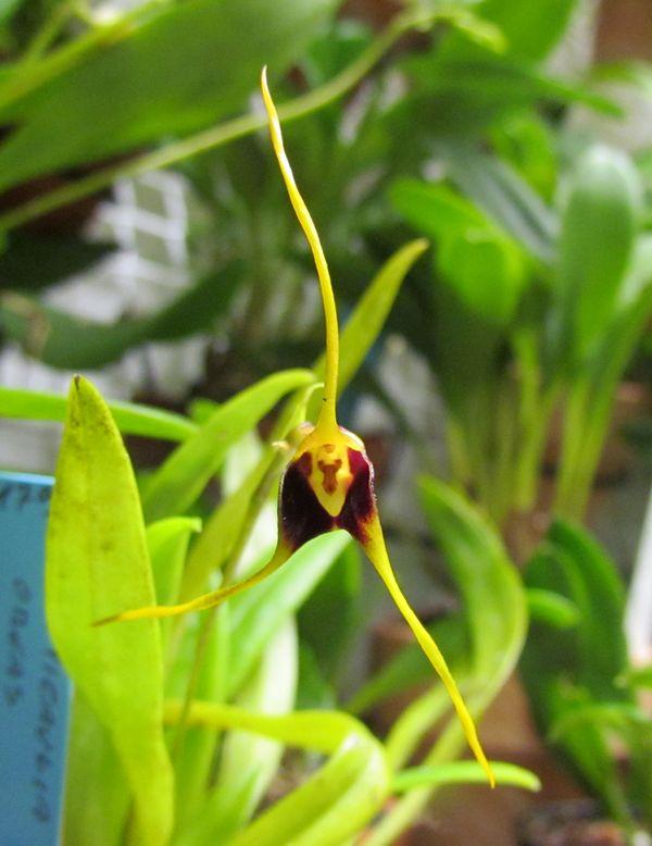 Alaticaulia oreas ( ex. Masdevallia oreas ) Img_2537