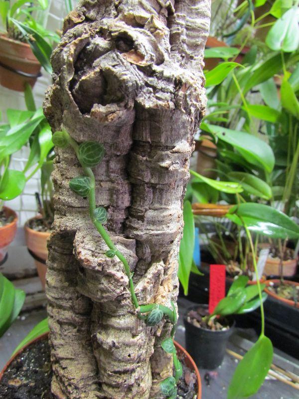 Rhaphidophora cryptantha  je pense avoir trouver pour sa culture Img_2648