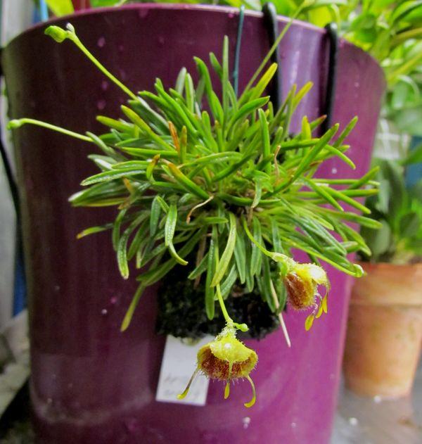 Diodonopsis erinacea ( ex. Masdevallia erinacea ) Img_2710