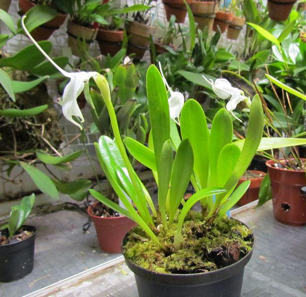 Alaticaulia tovarensis  ( ex. Masdevallia tovarensis ) Img_2810