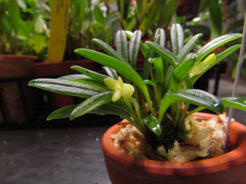 Triotosiphon bangii ( ex. Masdevallia bangii ) Img_2819