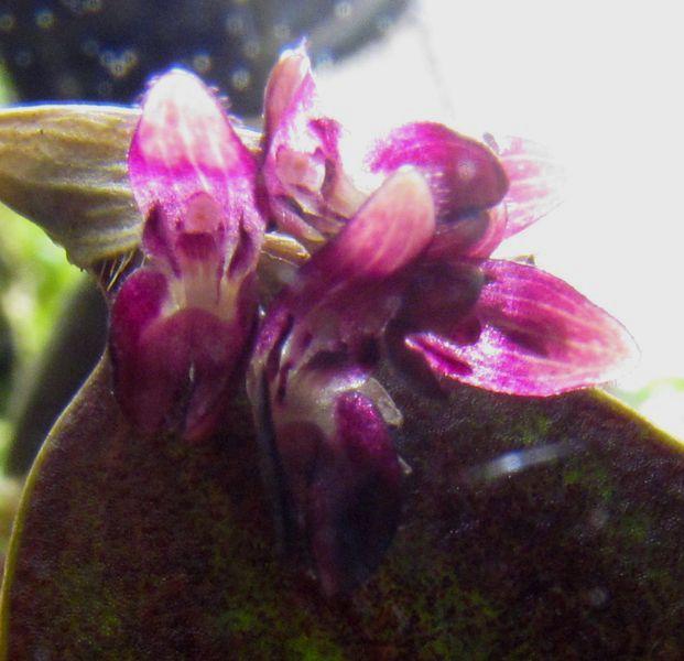 Nouvelle floraison de Trichosalpinx escorbarii Img_2919