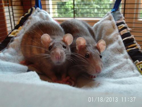 [Au Bazar des NAC] Diana et Naika, deux ratounes bleues Dina-r10