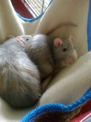 [Au Bazar des NAC] Diana et Naika, deux ratounes bleues Wp201110
