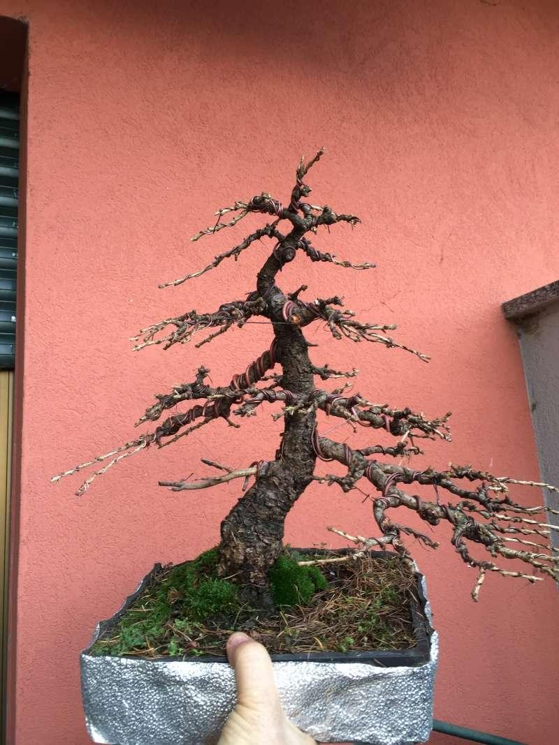 Il mio larice (Larix decidua) Larice11