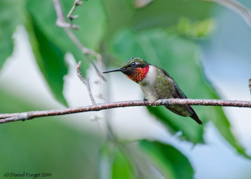 Colibri à gorge rubis, une série D7k14-14