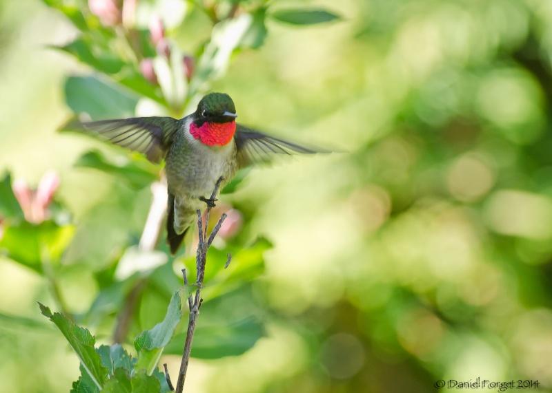 Colibri à gorge rubis, une série D7k14-15
