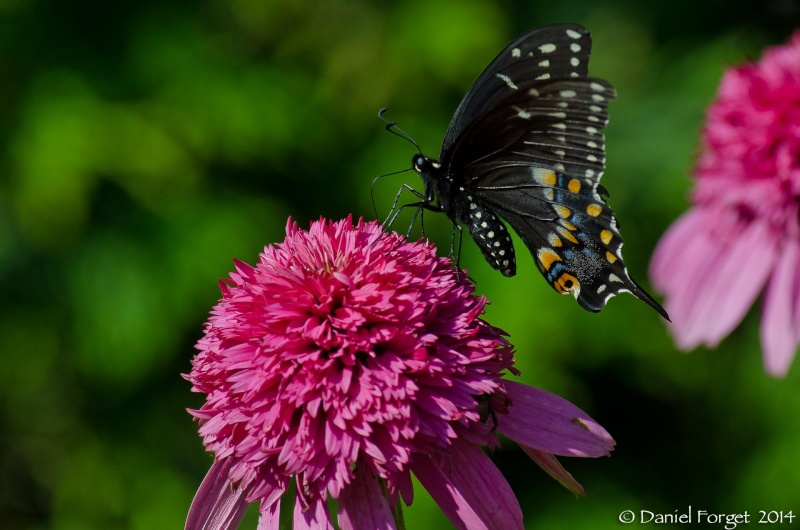 Papillon du Céleri D7k14-30