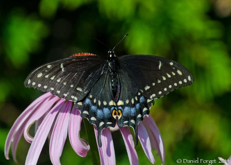 Papillon du Céleri D7k14-31