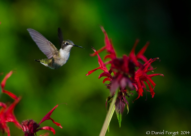 Colibri parmi les fleurs. D7k14-32