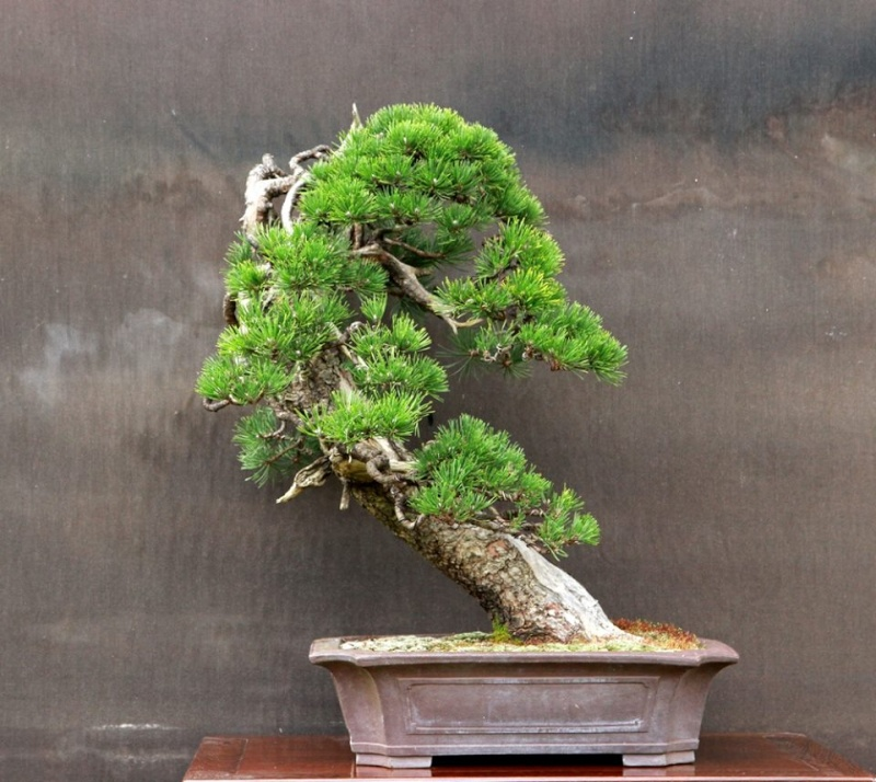 Pinus uncinata in a classic Japanese style  - Page 2 10363510