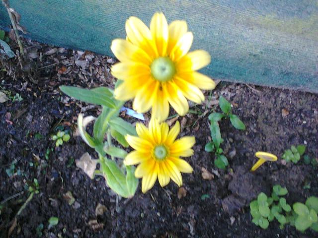 quelle est cette fleurs?.........Rudbéckia Sun Photo014