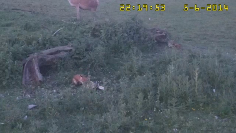 Fox Cam in the Netherlands - Page 2 2014-019