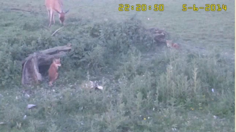 Fox Cam in the Netherlands - Page 2 2014-020