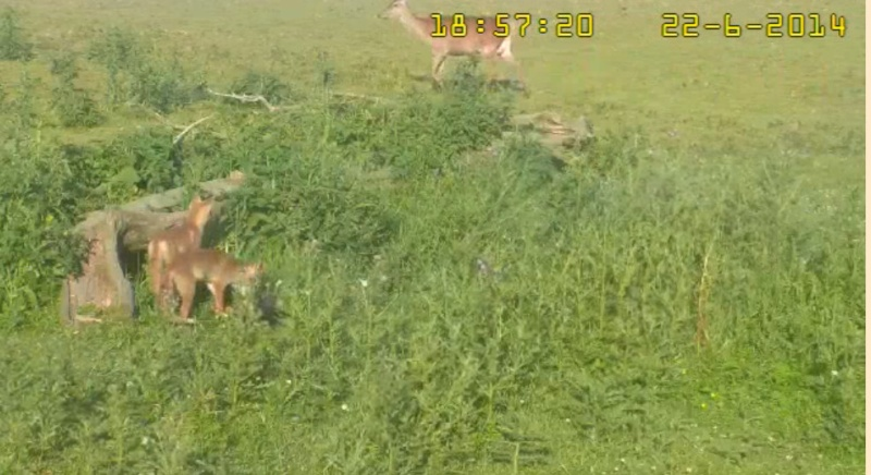 Fox Cam in the Netherlands - Page 2 2014-035