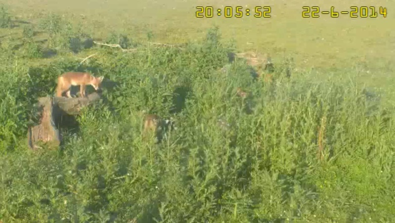 Fox Cam in the Netherlands - Page 2 2014-036
