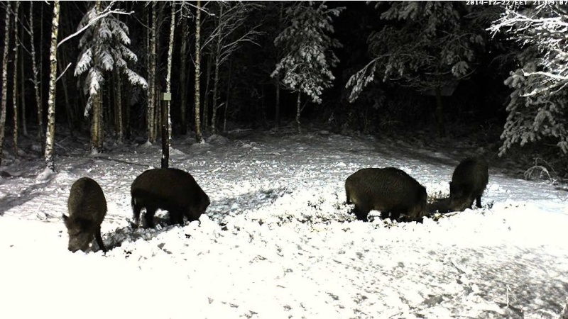 Boar cam Winter 2014-2015 - Page 3 2014-147