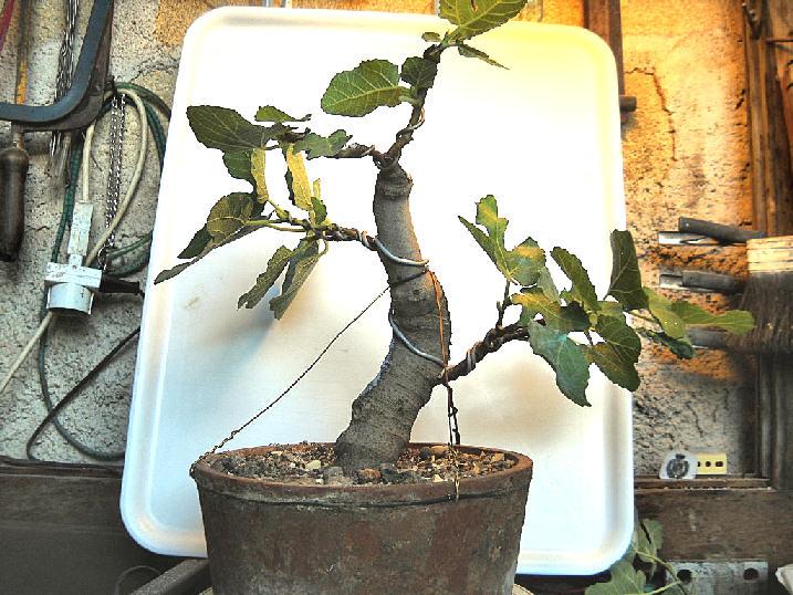 Da Macro a Micro - Ficus carica a go-go - Pagina 2 Dscn2511