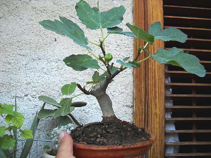 Da Macro a Micro - Ficus carica a go-go - Pagina 2 Dscn2514