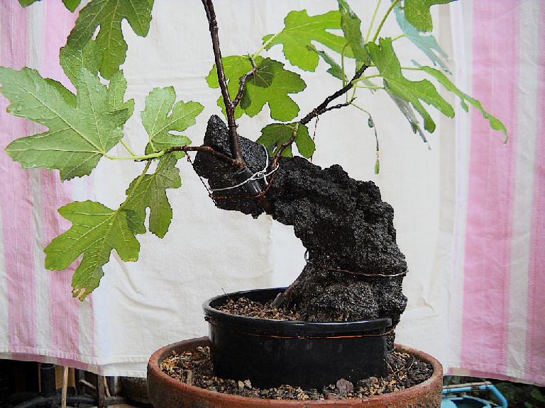 Da Macro a Micro - Ficus carica a go-go - Pagina 2 Fico210