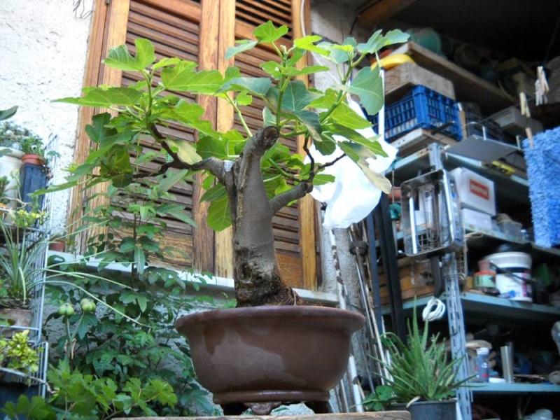 Da Macro a Micro - Ficus carica a go-go - Pagina 2 Ficusc10