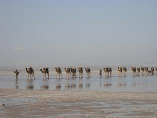 DESERT DE DALLOL (ETHIOPIE) Camel_10