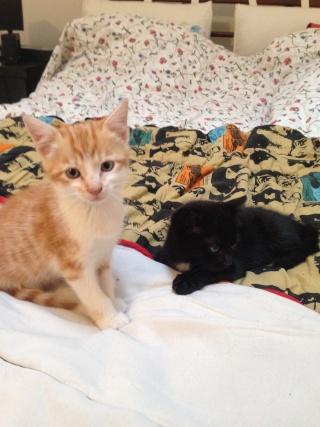 Un caractère en or : Jedi chaton né vers le 10 juillet 2014 -Adopté par babacool62- Jedi10