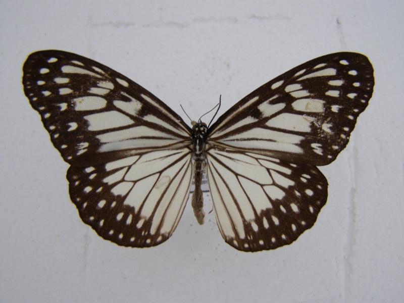 Papillon d'Indonesie Ideopsis juventa P1010047