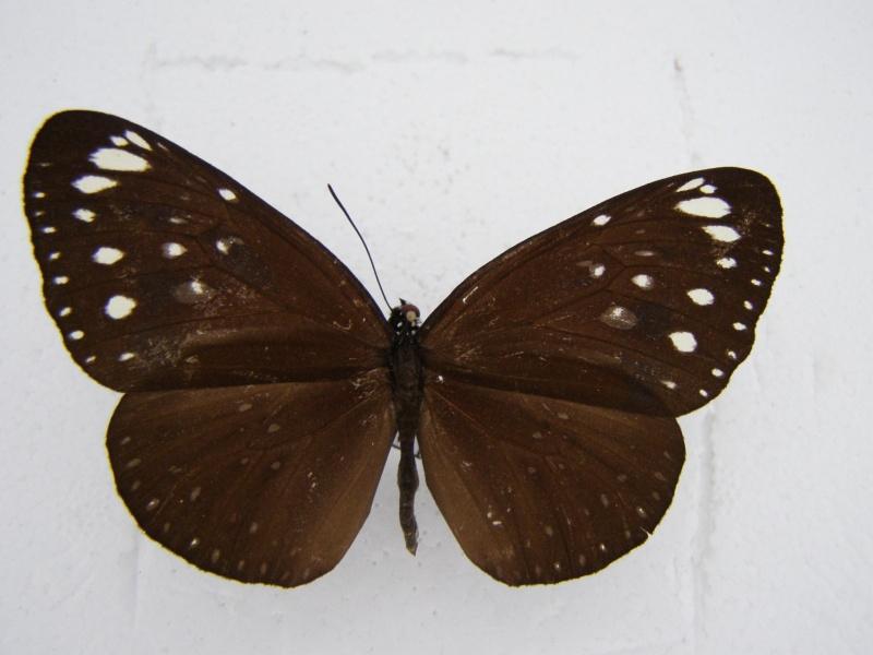 Papillon d'Indonesie N°5 P1010049
