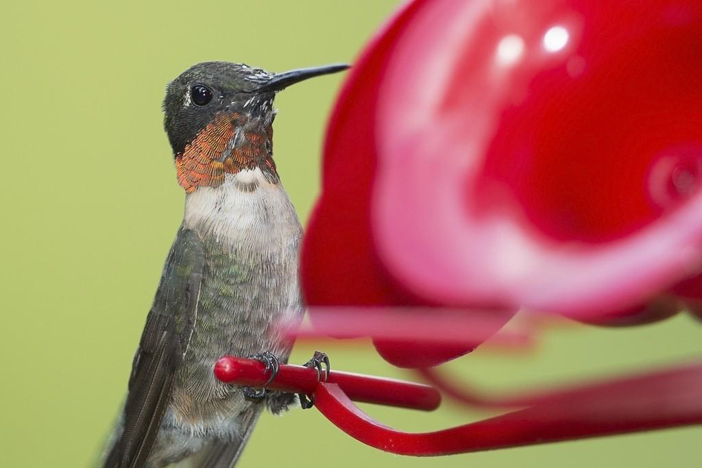 Colibri à gorge rubis Colibr12