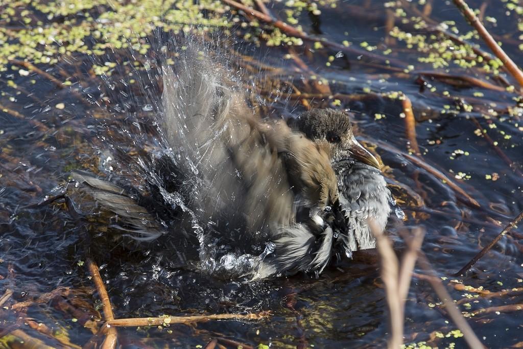 Gallinule poule d'eau juvénile Gallin12
