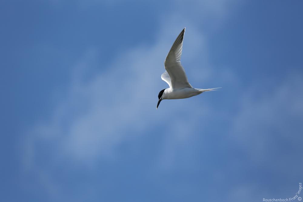 Sternes (oiseau) 1v4b0310