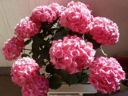 Comment vont nos fleurs ? - Page 2 P1040012