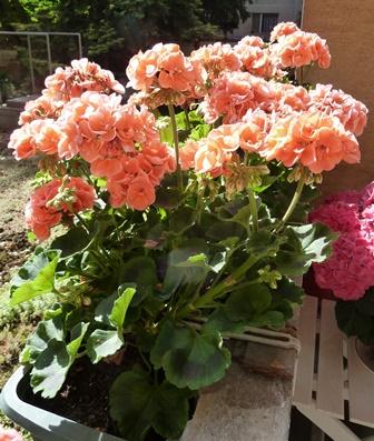 Comment vont nos fleurs ? - Page 2 P1040110