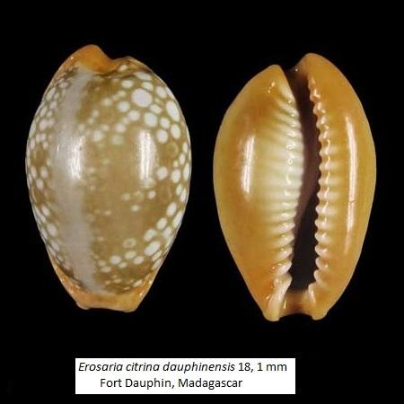 Naria citrina dauphinensis - Lorenz, 2002 Citrin10
