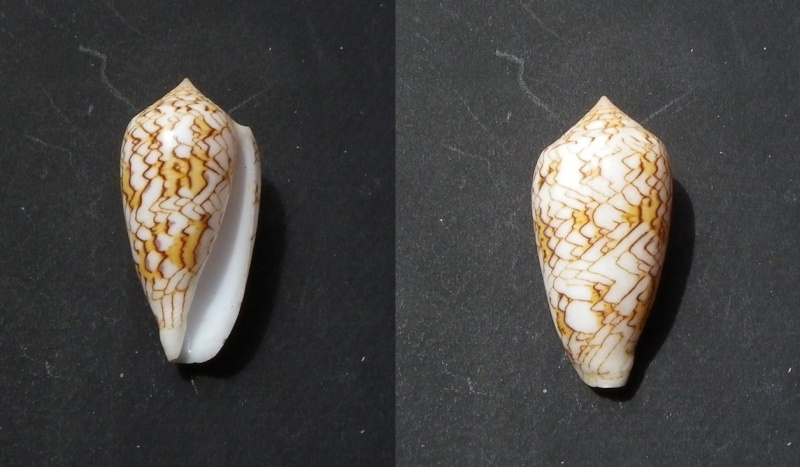 Conidae 2 à déterminer = Conus textile Conus_11