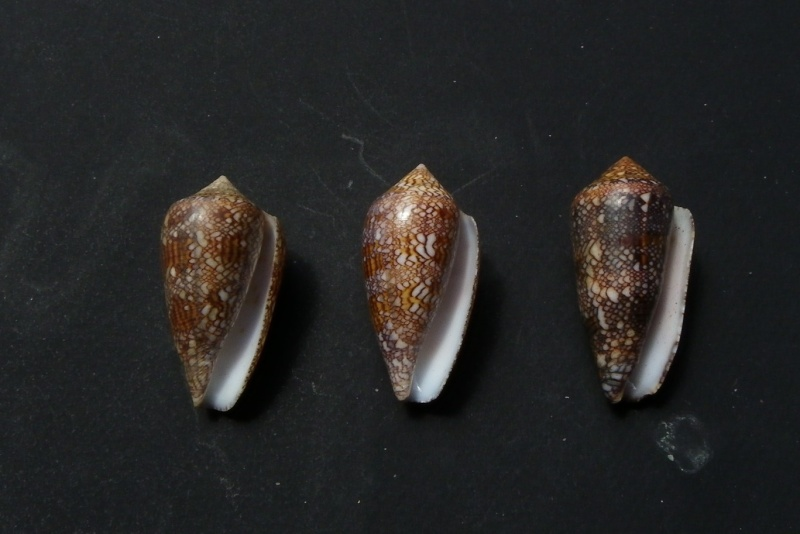 Conidae 3 à confirmer Conus_12