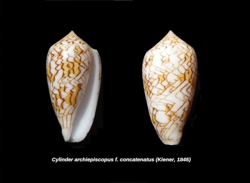 Conidae 2 à déterminer = Conus textile Cylind11