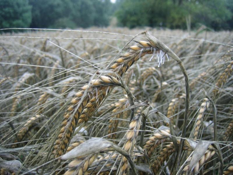 Qui a déja du blé germé???? - Page 3 Img_7916