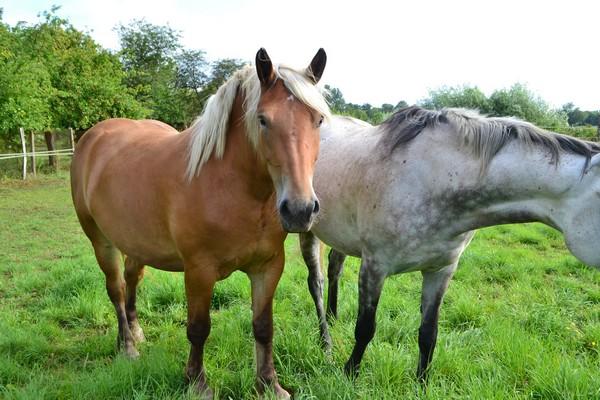 AZUR - PP Trait Comtois née en 2010 - adoptée en juin 2011 par adeline10 Azur510