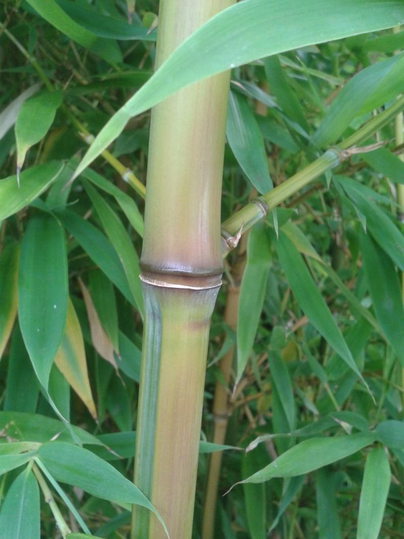 identifier un bambou 20120812
