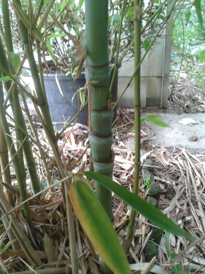 identifier un bambou 20120813